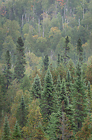 Laurentian Mixed Forest of the North Woods. Superior National Forest, North Shore Minnesota