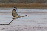 A Sandhill Cranes flies off to the feeding ground after spending the night in frozen water at the Bosque del Apache National Wildlife Refuge in San Antonio, New Mexico. The cranes freeze in place as night temperatures drop and then free themselves when the sun warms the water.