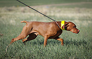 SHOT 5/9/20 8:13:35 AM - Various pointing breeds compete in the Vizsla Club of Colorado Licensed Hunt Test Premium at the Rocky Mountain Sporting Dog Club Grounds in Keenesburg, Co. (Photo by Marc Piscotty / © 2020)
