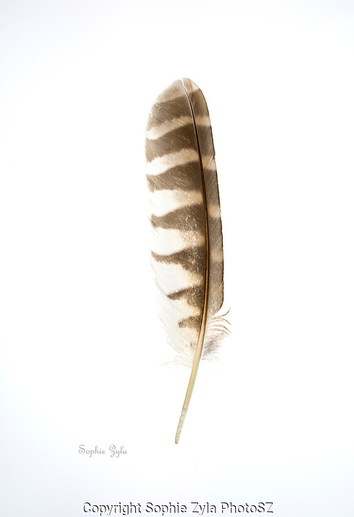 Red-shouldered Hawk Wing Feather