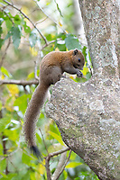 The grey-bellied squirrel (Callosciurus caniceps) is a species of rodent in the family Sciuridae. It is found in forests, plantations and gardens in Thailand. As suggested by its name, its belly is usually grey, though sometimes reddish on the sides. Depending on subspecies and season, the upperparts are grey, yellowish-olive or reddish