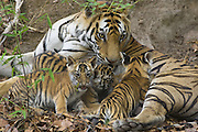 Bengal Tiger<br /> Panthera tigris <br /> Mother and eight week old cubs at den <br /> Bandhavgarh National Park, India