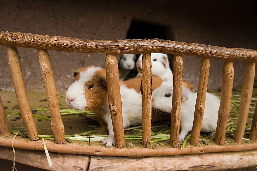 Guinea pigs press up against the fence of their pen at a restaurant in Pisac, Peru on September 23, 2005. The guinea pig is the culinary specialty of Peru.