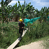 A worker pulls a line of banana racimes along a cable run at a plantation of APPBOSA in Peru.