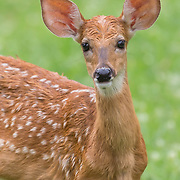 Portrait of white-tailed deer fawn, Odocoileus virginianus, after a light rain, with background of grasses. Semifinalist, NANPA 2017 Showcase. Semifinalist, Nature's Best Backyards 2016.