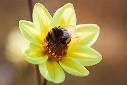 Bee on Dahlia 'Summertime'
