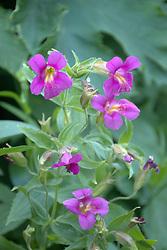 Monkeyflower (Mimmilus guttatus), Glacier National Park, Montana, US
