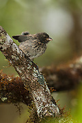 Medium ground finch (Geospiza fortis)<br /> Highlands of Santa Cruz Island<br /> Galapagos Islands<br /> ECUADOR.  South America<br /> These Darwin finches feed on moderately hard seeds taken from ground or plants. Few insects and lavae.<br /> ENDEMIC TO GALAPAGOS