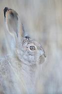 Woolly hare, Lepus oiostolus, Dulan nature reserve, Tibetan Plateau, Qinghai, China