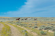Wild horses run free on the high plains of southern Sweetwater County, Wyoming, USA