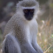 Vervet Monkey, sitting in grass. Low evening light. Kruger National Park. Africa.