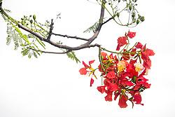Royal Poinciana Tree Delonix Regia #16