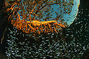 Red Mangrove (Rhizophora mangle) & Fish. Important fish nursery.<br /> BELIZE, Central America