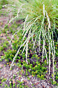 Mist beading up along the edges of spring grass, Acadia National Park, Maine