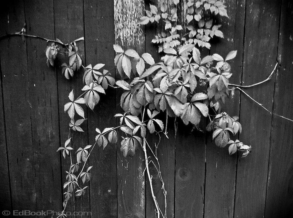 Virginia Creeper (Parthenocissus quinquefolia) growing on a weathered wooden fence in black and white monochrome