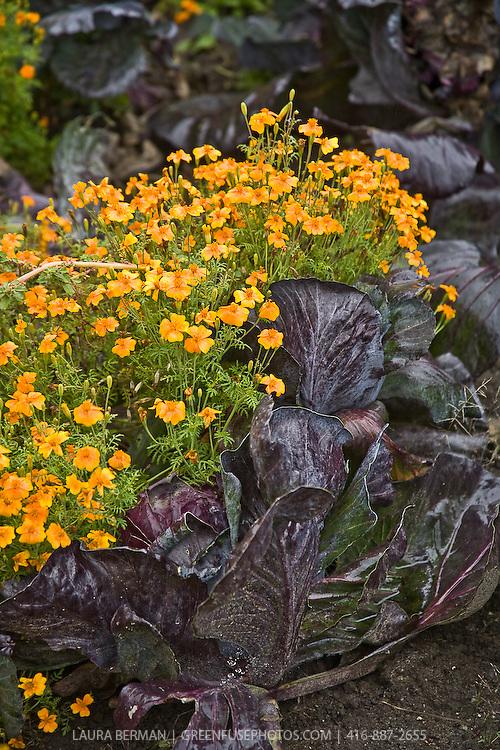 The edible orange flowers of Tangerine Gem Signet marigold growing in among purple cabbages in an edible, ornamental border (Tagetes tenuifolia 'Tangerine Gem').