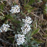 An Alpine Smelowskia (Smelowskia calycina) blooms in the tundra atop Beartooth Pass, Wyoming.