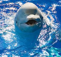 Beluga whales, walrus, otter, lionfish, common dolphins and marine life in the Yokohama, Japan, aquarium