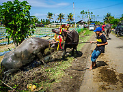 30 JULY 2017 - TUWED, JEMBRANA, BALI, INDONESIA: A boy pulls his water buffalo out of a mud puddle the buffalo used to cool off in after a makepung (buffalo race) in Tuwed, Jembrana in southwest Bali. Makepung is buffalo racing in the district of Jembrana, on the west end of Bali. The Makepung season starts in July and ends in November. A man sitting in a small cart drives a pair of buffalo bulls around a track cut through rice fields in the district. It's a popular local past time that draws spectators from across western Bali.    PHOTO BY JACK KURTZ