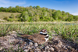 Killdeer (Charadrius vociferus) on nest in Hill Country region, Texas, USA.