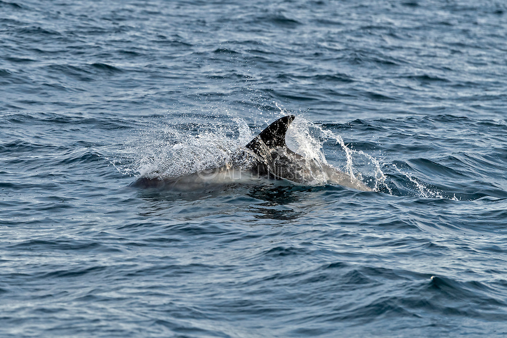 White-backed dolphin (Lagenorhynchus albirostris) off the coast of southern Spitsbergen, Svalbard, Norway in August.