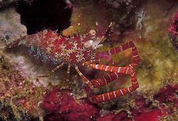 Male Coral Marble Shrimp, Saron neglectus, showing distinctive enlongated claw arms. Mergui Archipelago, Myanmar, Andaman Sea, Indian Ocean