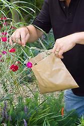 Harvesting Lychnis coronaria seeds into paper bag