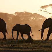 African Elephant (Loxodonta africana) herd during sunset. Amboseli National Park, Kenya, Africa