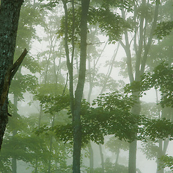 Sugar maples in the fog in Clarksville, New Hampshire. Late summer.  Washburn property.