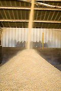 05 MAY 2008 -- BUCKEYE, AZ: Corn is milled into cattle feed at the Heiden Land & Cattle Company feed lot in Buckeye, AZ. Les Heiden, owner of the Heiden Land & Cattle Company, said his corn prices have gone up by 123% since May, 2006. He attributes about 85 percent of the price increase to the ethanol industry, which he said his buying five times more corn now than they were two years ago. Heiden feeds about 4,500 head of cattle in his feed lot, which is west of Phoenix.  Photo by Jack Kurtz