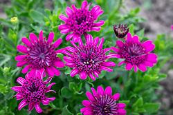 Osteospermum '3D Double Purple' - African daisy