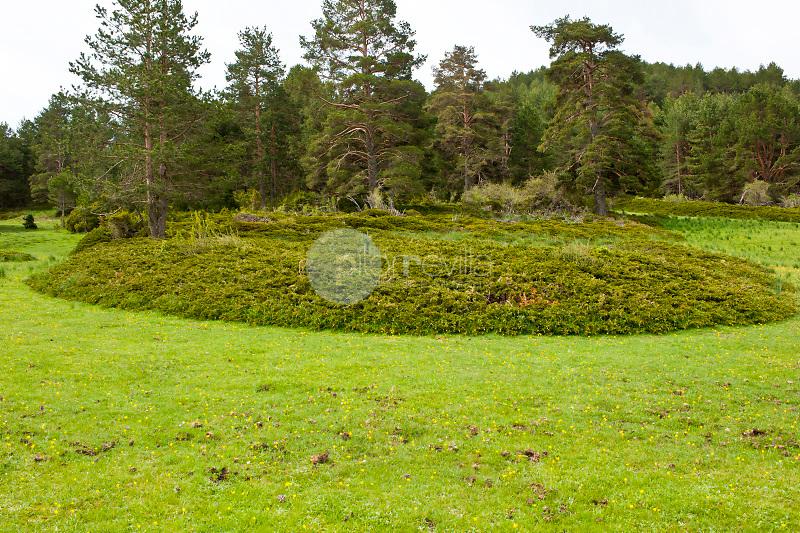 Sabina rastrera (Juniperus sabina). Rincón de Palacios. Parque Natural Serranía de Cuenca. Cuenca ©Antonio Real Hurtado / PILAR REVILLA