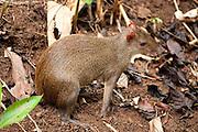 Central American Agouti, Dasyprocta punctata, Panama, Central America, Gamboa Reserve, Parque Nacional Soberania, female