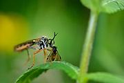 Red-legged robberfly (Dioctria rufipes) | Höcker-Habichtsfliege (Dioctria rufipes) mit Beute. Wacholder Landschaft, Witzenhausen, Deutschland