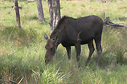 Moose, Alces alces, (C), female, Shubenacadie Wildlife Park,  Nova Scotia, Canada, feeding on grass