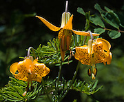 """The Tiger Lily or Columbia lily (Lilium columbianum) is native to western North America. Photo from Granite Mountain Trail, Alpine Lakes Wilderness Area, Washington, USA. Published in """"Light Travel: Photography on the Go"""" book by Tom Dempsey 2009, 2010."""