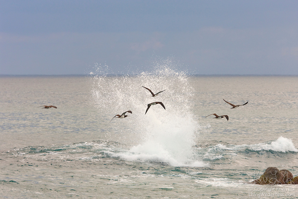 Several brown boobies (Sula leucogaster) fly by crashing Pacific Ocean waves near Sayulita, Mexico. Brown boobies are common in tropical and subtropical waters and have a wingspan of 57 inches (145 cm).