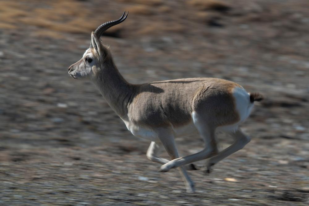 Tibetan gazelle or Goa, Procapra picticaudata, Keke Xili / Hoh Xil nature reserve, Tibetan High plateau, Qinghai, China