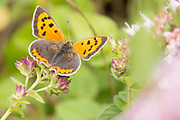 Small copper butterfly (Lycaena phlaeas). Isle of Purbeck, Dorset, UK.