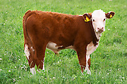 Bull Calf Brown and white Profile Smaland region. Sweden, Europe.