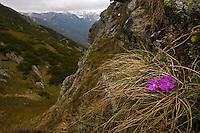 Least Primrose (Primula minima), flowers growing on steep slope. Western Tatras, Slovakia. June 2009. Mission: Ticha