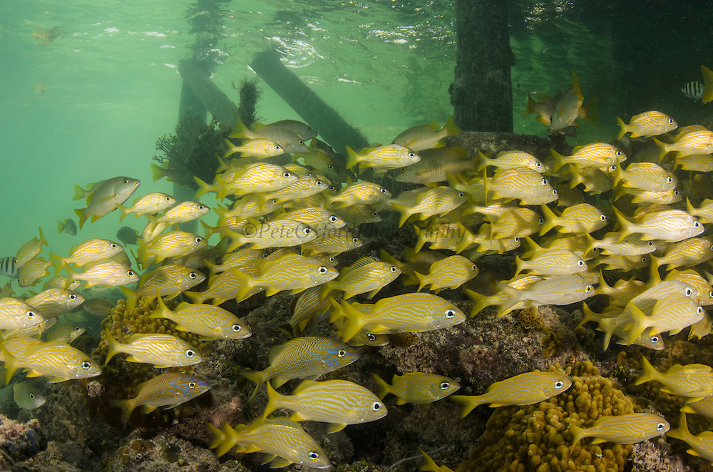 French Grunt (Haemulon flavolineatum)<br /> under dock<br /> Ambergris Caye<br /> Belize Barrier Reef. Second largest barrier reef system in the world.<br /> BELIZE, Central America