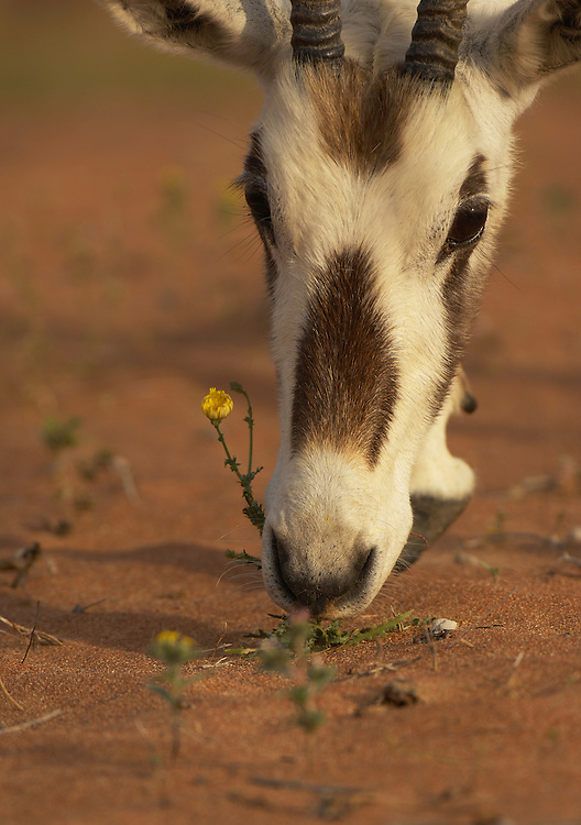 Arabian Oryx (Oryx leucoryx) Dubai Desert Conservation Reserve, Dubai.