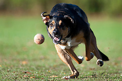 Wallace chases a ball in Ecclesfield Park 13 August 2011  Image © Paul David Drabble