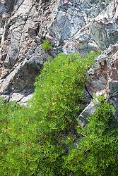 Rock Samphire growing on cliffs at The Lizard Peninsula, Cornwall. Crithmum maritimum