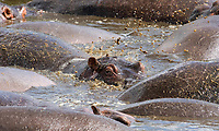 Hippopotamuses, Hippopotamus amphibius, cool off by splashing water with their tails in a pond in Ngorongoro Crater, Ngorongoro Conservation Area, Tanzania