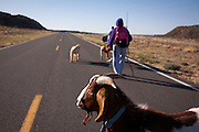 Nelson Kotiar's (obscured at front) goat Ramu Jr. walks along the 10-mile march between St. Rose of Lima Church in Santa Rosa and Nuestra Seniora del Refugio Church. (Note: sadly this is not the pregnant goat)
