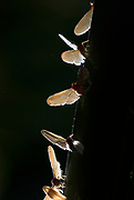 Group of Rainforest Moths, species unknown, on edge of tree, backlight, Iquitos, Peru, Amazon jungle, .