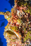 Commerson Frogfish, Antennarius commerson, Maui Hawaii