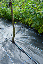 Mypex used to suppress weeds in fruit cage